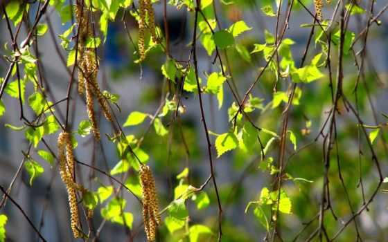 ветки, листья, дерево, nature, branches, сережки,
