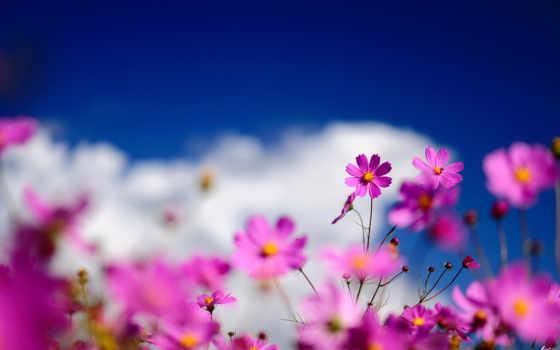 цветы, небо, космея