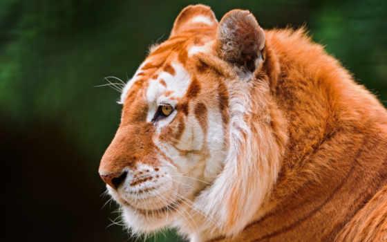 золотистый, тигр, тигры, удивительные, тигров, исключения, rare, окрас, окрасом,