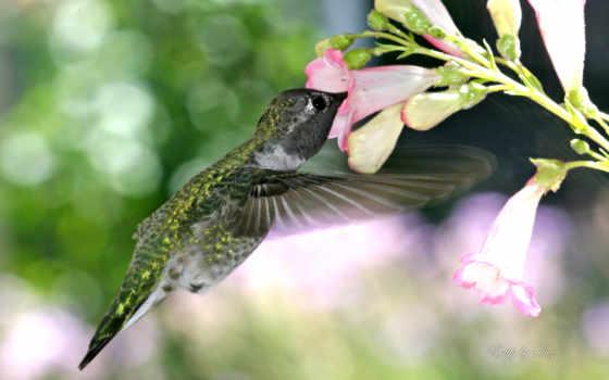 animal, world, колибри