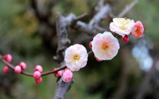 дерево, cvety, Сакура, весна, цветение, персиковое, веточка, макро, trees, красиво, лепестки,
