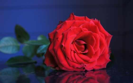 pinterest, pin, amber, крупным, планом, розы, red, cvety, parede, plants,