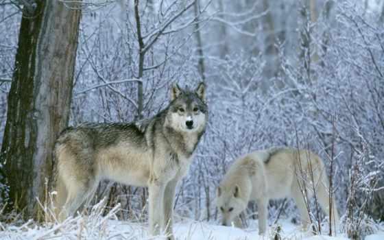 зимой, волки, winter