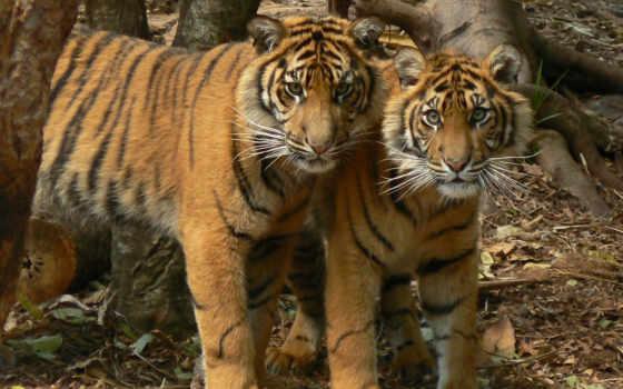 тигры, подростки