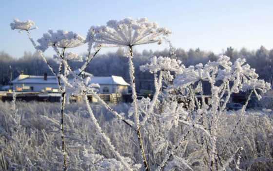 цветы, под, снегом