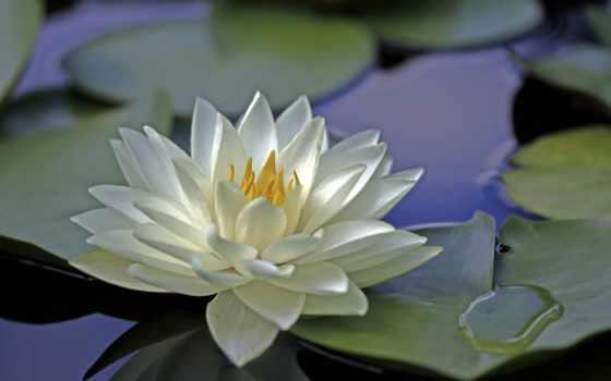 lily, цветы, водяные