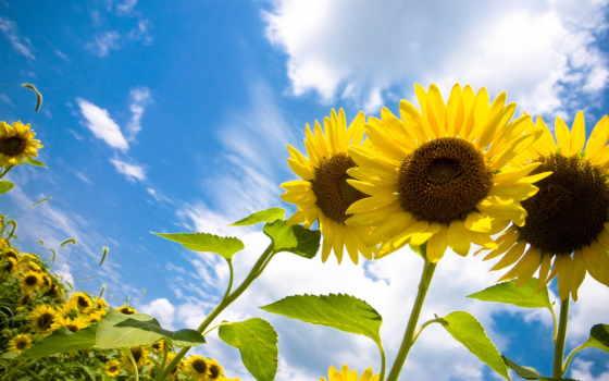 подсолнухи, цветы, sun