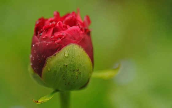 роза, free, flowers, den, stock, шпалери, desktop, картички, цветы,