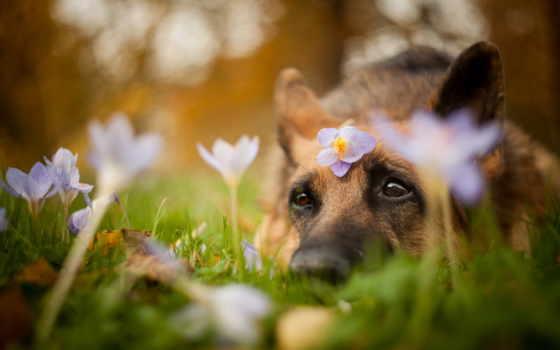 овчарка, немецкая, собака, cvety, лежит, породы, among, траве, взгляд, друг, цветов,