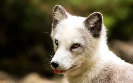 фокс, arctic, eyes, animals, different, colored, pinterest, heterochromia,