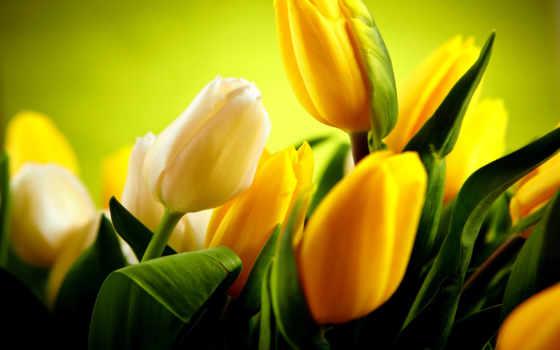 тюльпаны, желтые, белые, фотообои, шторы, римские, купить, японские, панели, постеры,
