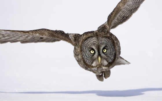 сова, wings, flying