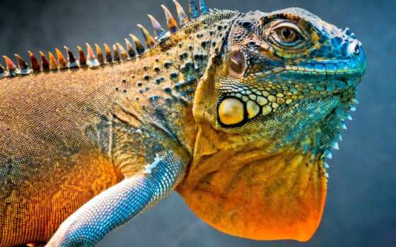 maclean, ekran, iguana, projekcyjny, дракон, ящер, statywy, dwóch,