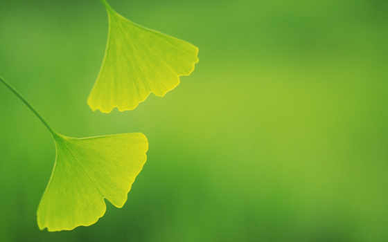 green, leaves, зеленые, widescreen, background, âìé, download, гингко, нежно,