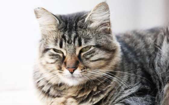 кот, прищур, striped, морда, серый, лежит,