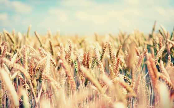 пшеницы, поле, summer, колосья, разных, разрешениях, пшеница, злаки, широкоформатные, золотистый,