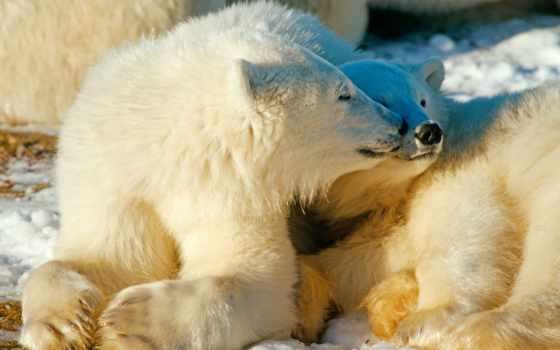 polar, love, медведь