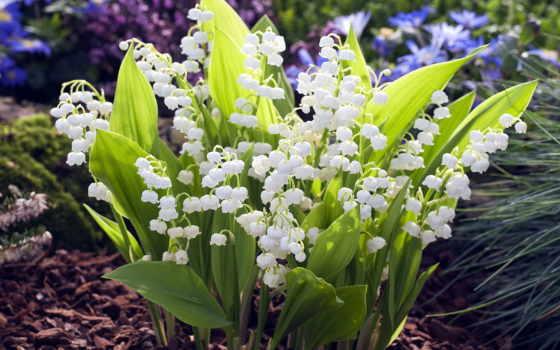 весна, cvety, смотреть, весенние, ландыши, рисунки,
