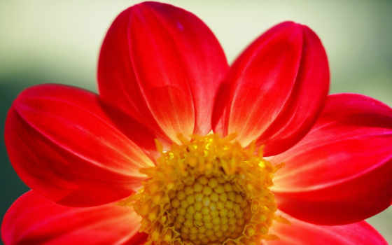 flowers, red, цветы, daisy, gazania, images, pinterest,