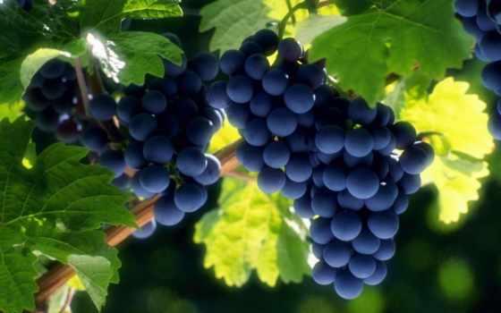 виноград, винограда,