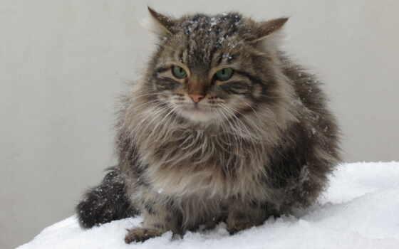winter, холод, снег, semi, длинношерстный