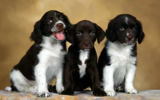 обои, собаки, щенок, beagle, подборка, обоев, крас