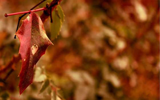 verschiedenes, się, laden, blur, liste, makro, verwischen, rot, herbst, red, autumn, макро, лист, фото, leaf,