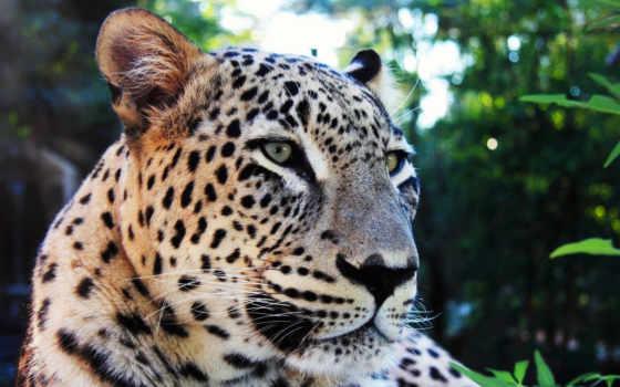 красивые, felinos, grandes, только, леопарды, леопард, ipad, blender, коллекция,