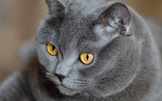 кот, british, британец
