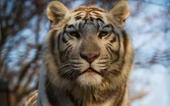 тигр, white, animal