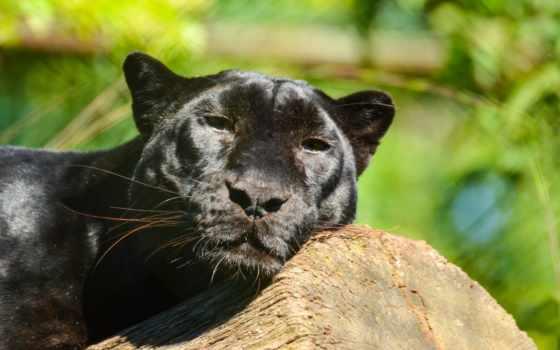 panther, кот, леопард