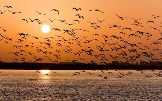 птицы, овцы, птиц, улетают, страница, possible, павлины, закат, everything, стаи, closer,