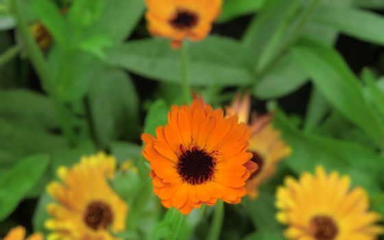 cvety, оранжевые,