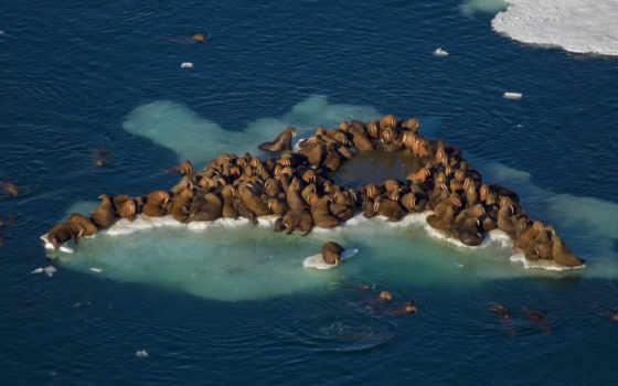 walrus, pinterest, marine, rosmarus, odobenus, большой, млекопитающее, images, best,