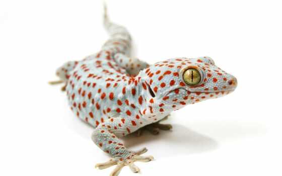 gecko, tokay, animal, правда, otzyv, cute