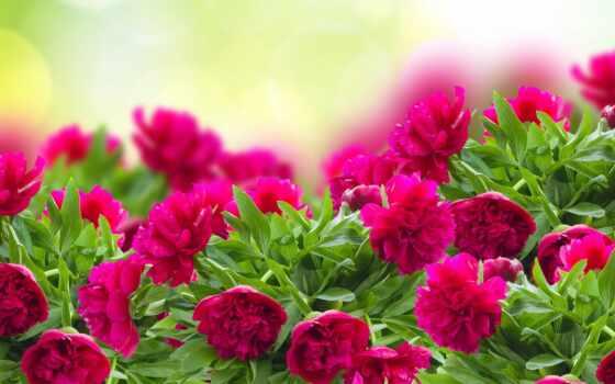 цветы, пион, красивый, розовый, природа, free, яркий, красное, cvety, утро, картинка