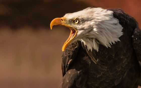 птица, орлан, лысый, wild, animal, животные, prey, хищник