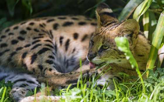 lying, serval