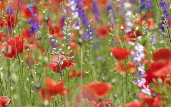 цветы, полевые, нов