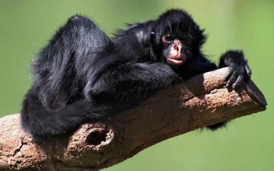 обезяна, обезьяны, паукообразная, обезьян,