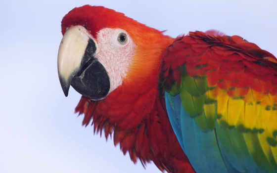 macaw, scarlet, попугай