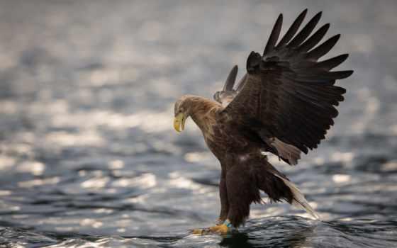 , хищник, птица, ястреб, крылья,