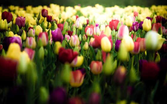 hoa, тюльпан, hành, nın, trong, bỏng, với, những, vanvat,