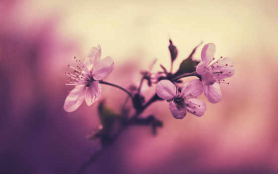 весна, скоро, макро, branch, природа, cvety, cherry, цветение,