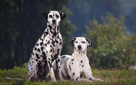 далматин, собак, dalmatian, породы, собаки, youtube, порода, собака, собаку, характер,