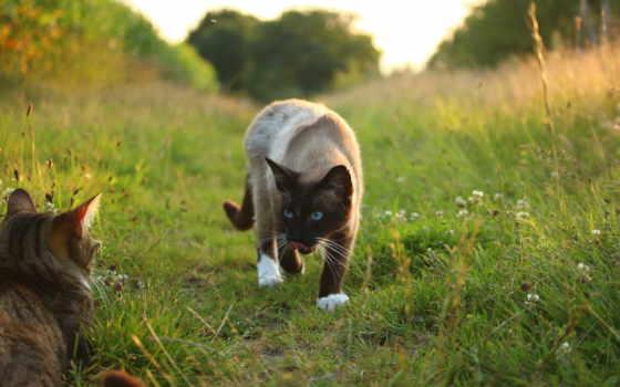 кот, сиамский, собака, порода, котенок, short, щенок, коровы, public, white