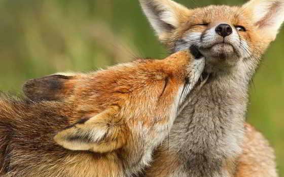 фокс, хищник, спит, animal,