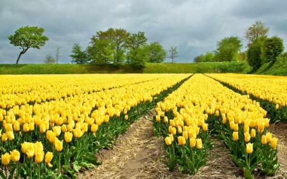 тюльпаны, желтые, поле, цветы, pin, pictures, тюльпанов,