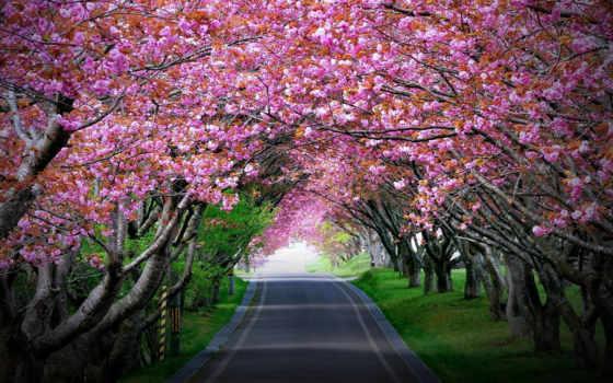 Сакура, цветущая, cherry, трек, impact, усталость, оказывает, тонизирующее, пейзажи -, аллея,