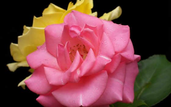 капли, розы, цветы, con, rosas, frases, roses, amor, роза, amistad, макро,